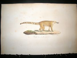 Saint Hilaire & Cuvier C1830 Folio Hand Colored Print. The Brown Coati